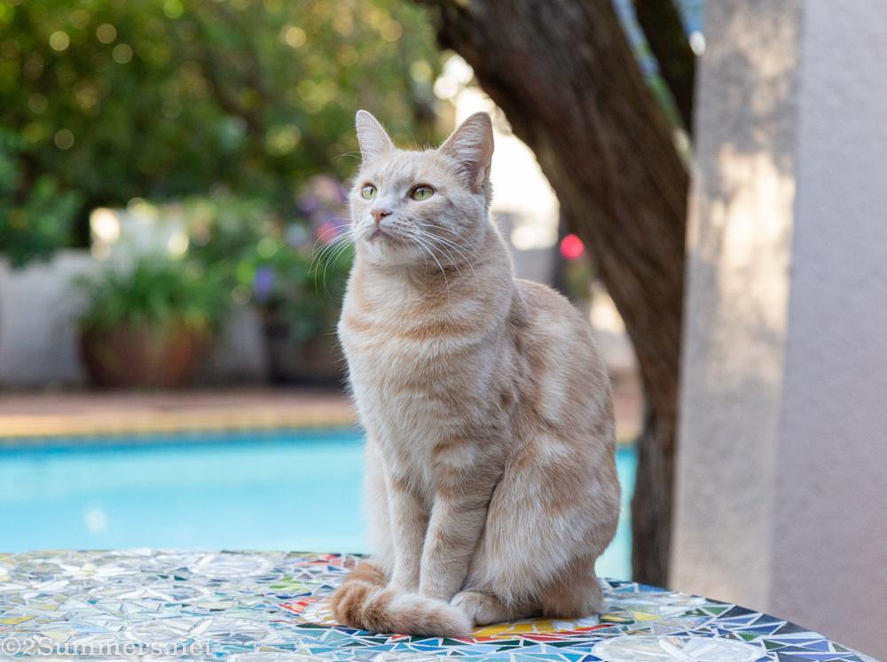 Trixie the Melville kitten