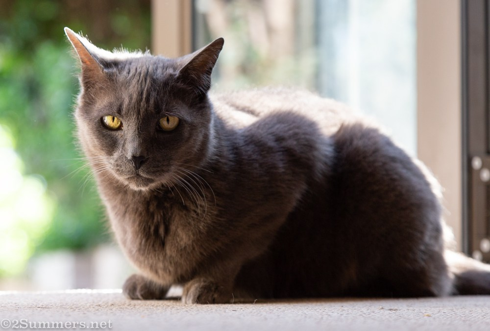 Belated Goodbye to Smokey, The Melville Cat