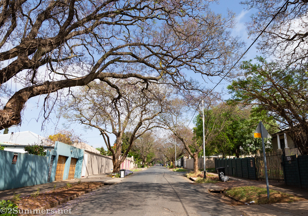 Jacaranda trees without blooms on Melville's 3rd Avenue