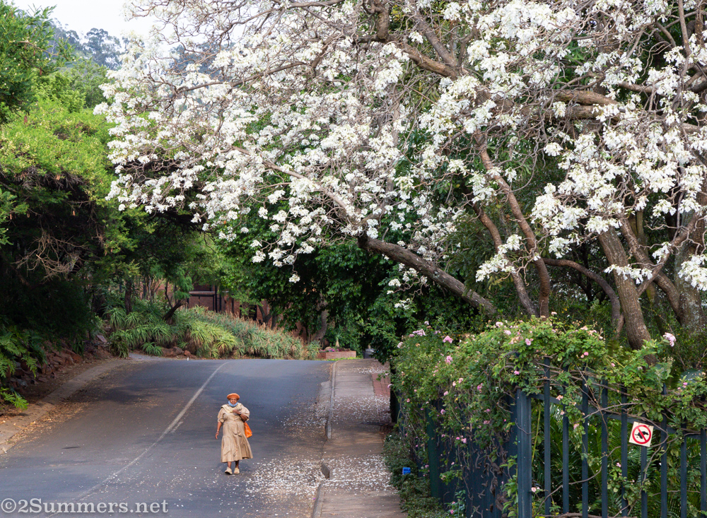 Lady walking under a white jacaranda tree