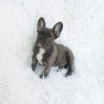 Blue French Bulldog Reverse Brindle Puppy 3 French Bulldogs La