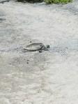 Green sea turtle takes a siesta