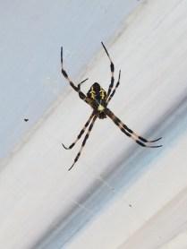 A local specimen of garden spder. A beautiful animal
