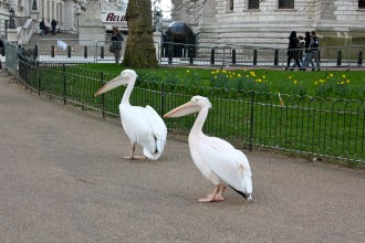 Pelicans - St Jame's park - London, UK, 2013
