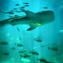 Whale Shark Georgia Aquarium 1