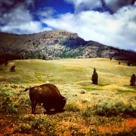 Bison in Lamar Valley Yellowstone 2