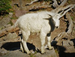 Mountain Goat in Glacier National Park 1