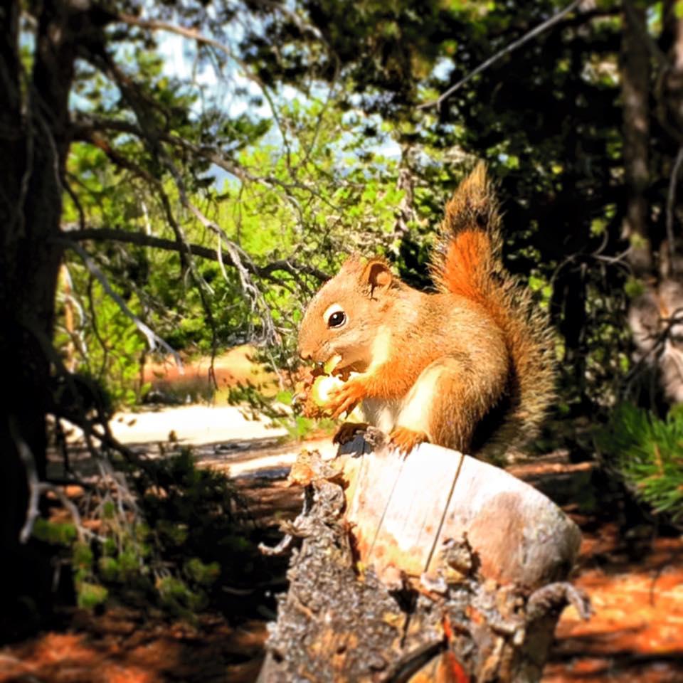 Squirrel in Yellowstone 1