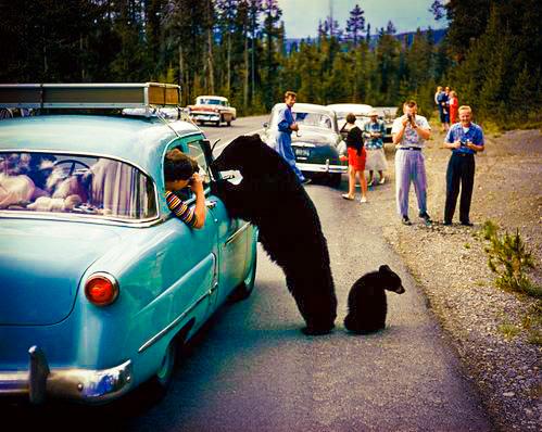 bears at car