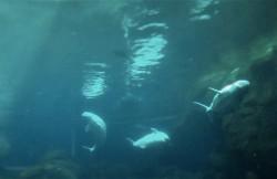 Beluga Whales Georgia Aquarium 1