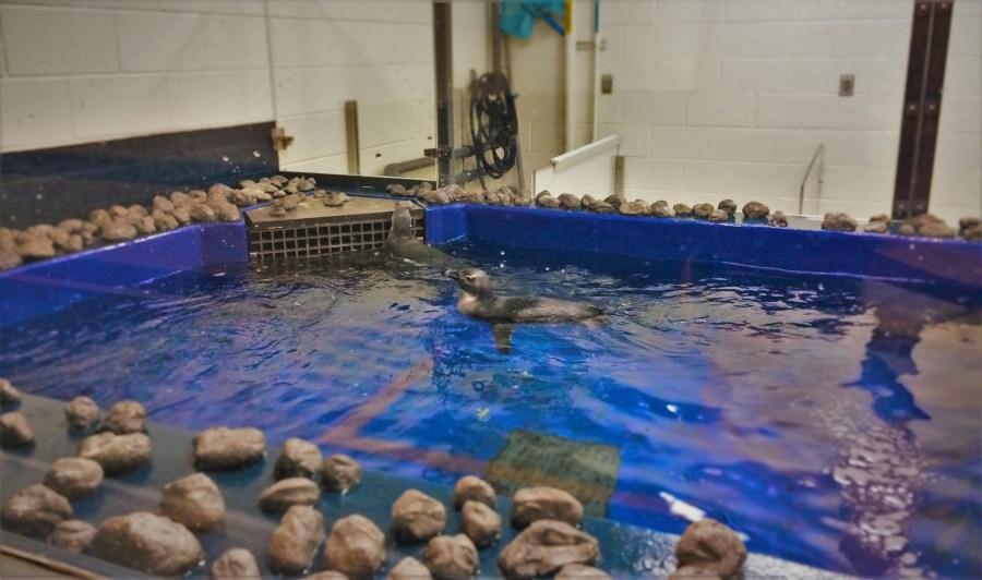 Young Penguin Tank Behind the Scenes Georgia Aquarium