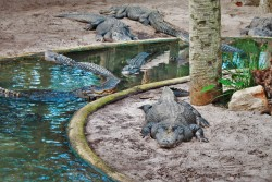 Crocodiles in Lagoon at St Augustine Alligator Farm 1