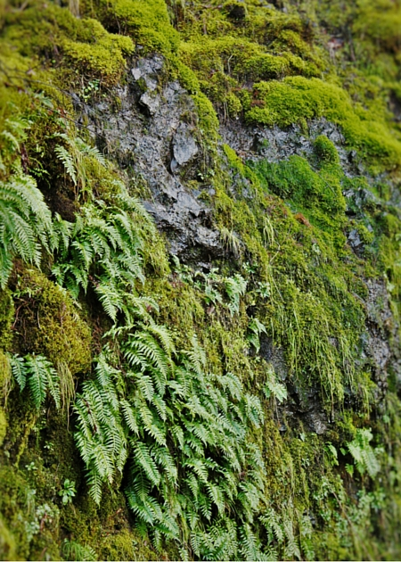Mossy cliff at Horsetail Falls in the Columbia Gorge Oregon