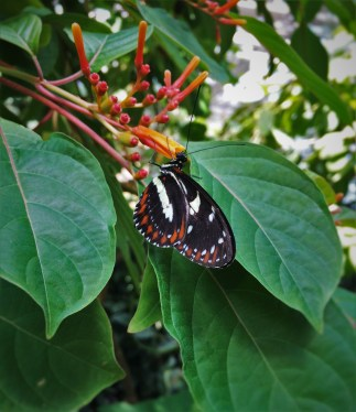 Beautiful butterfly at the Butterfly Pavilion Denver Colorado 1