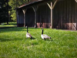 Canada Geese and Sheep Barn at Bloedel Reserve Bainbridge Island 1