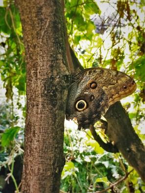 Huge Moth at the Butterfly Pavilion Denver Colorado 1