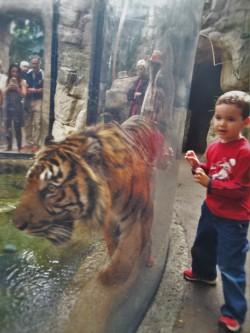 LittleMan and tiger at Denver Downtown Aquarium 1