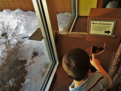 LittleMan watching bees enter their bee hive at the Butterfly Pavilion Denver Colorado 1