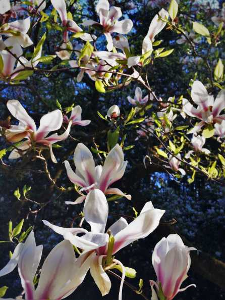 Magnolia tree in bloom at Bloedel Reserve Bainbridge Island 1
