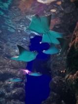 Manta Rays swimming above us at Denver Downtown Aquarium 1