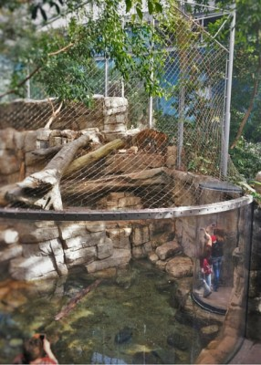 Tiger exhibit Denver Downtown Aquarium 2traveldads.com