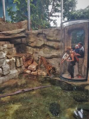 Tiger exhibit at Denver Downtown Aquarium 2