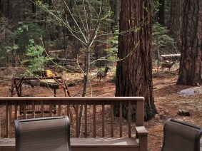 Deer outside John Muir House at Evergreen Lodge at Yosemite National Park 1