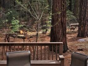 Deer outside John Muir House at Evergreen Lodge at Yosemite National Park 1