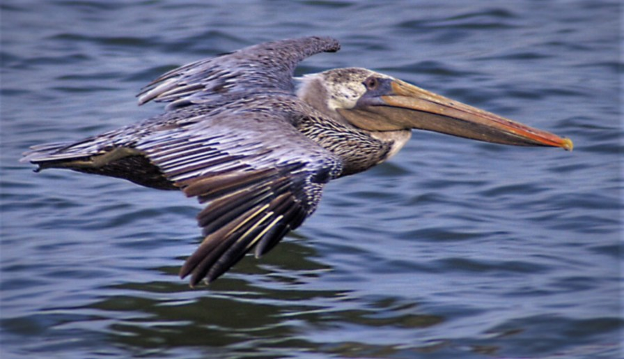Pelican flying 1