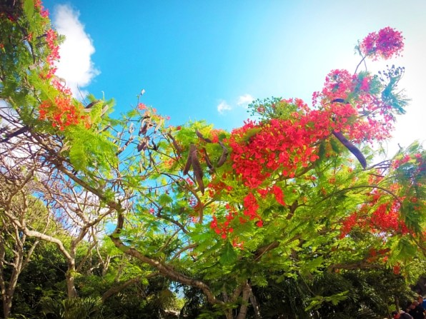 Flowering Tamarind in Playa del Carmen 1