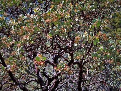 Manzanitas at Hetch Hetchy (1)