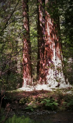 Redwood trees Muir Woods National Monument