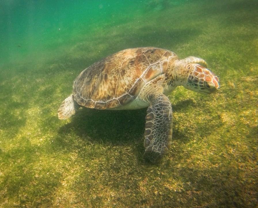 Swimming with Sea Turtles in Akumal 8