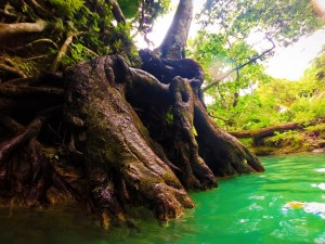 Tree roots At the Blue Hole St Anns Ocho Rios Jamaica 2
