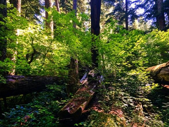 Vine Maples on Trail at Silver Falls Mt Rainier National Park 1