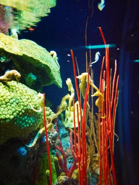 Seahorses at Tennessee Aquarium Chattanooga 1