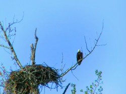Bald Eagle with Nest Olympic Peninsula 1