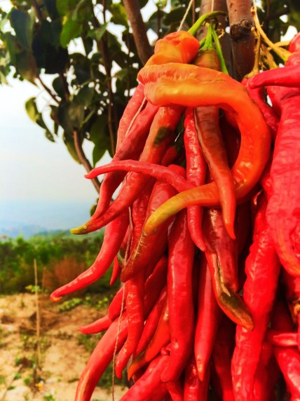 Chili Peppers in Yanan Shaanxi 1