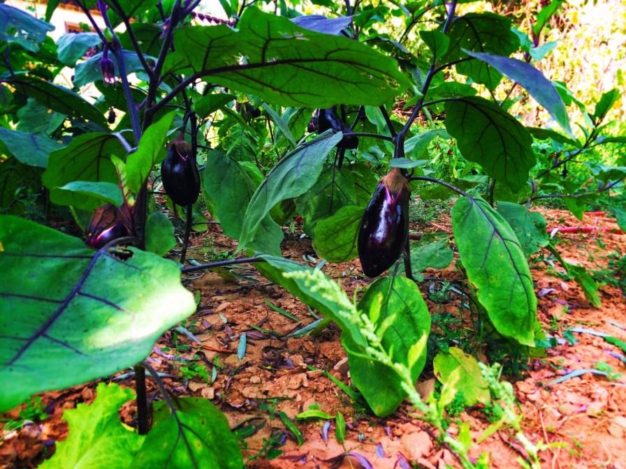 Chinese eggplant garden Yanan Shaanxi 1