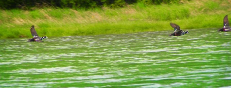 Ducks at Lagoon at Dungeness National Wildlife Refuge
