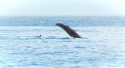 Humback whale in Strait of Juan de Fuca 1