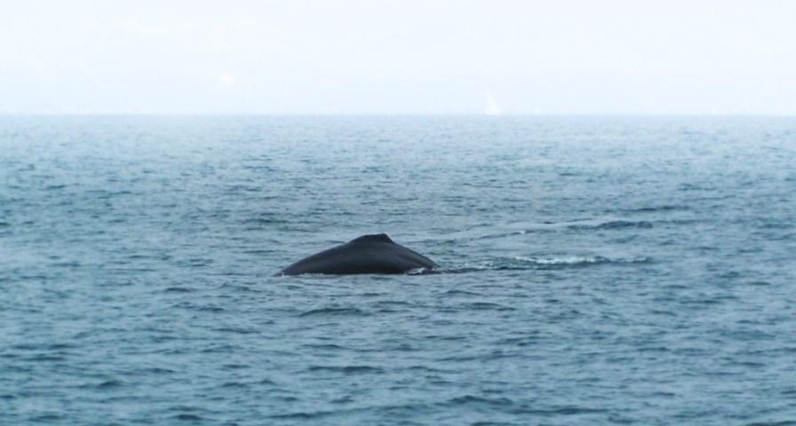 Humback whale in Strait of Juan de Fuca 2