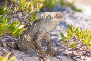 Iguana at Chalk Sound National Park VisitTCI