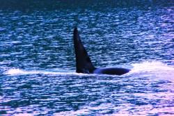 Orcas in Strait of Juan de Fuca 2