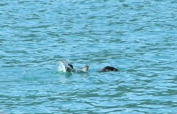 Splashing otter in Strait of Juan de Fuca 1