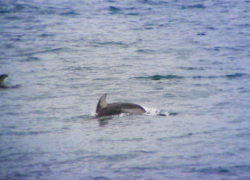 Pacific White Sided Dolphin in Strait of Juan de Fuca 1