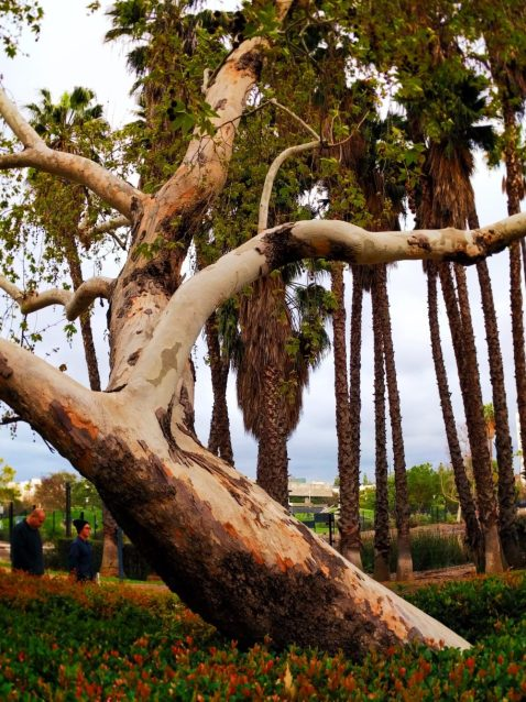 Eucalyptus Tree in Outdoor Sculpture Garden at LACMA Los Angeles 1