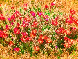 Ice Plants at Cabrillo National Monument 1