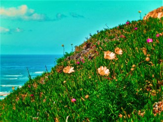 Ice Plants at Cabrillo National Monument 3