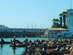 Sea Lions at Pier 39 San Francisco 1